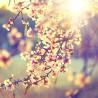 Kwitnące drzewo - Obraz drukowany na płótnie canvas