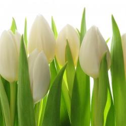 Białe tulipany - Obraz drukowany na płótnie