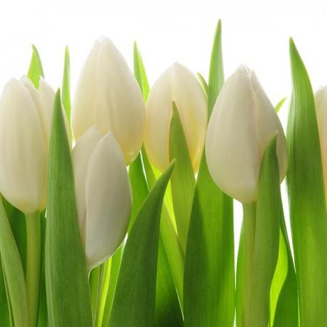 Białe tulipany - Nowoczesny obraz drukowany na płótnie