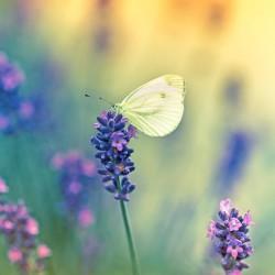 Motyl na kwiatku lawendy - Obraz na płótnie
