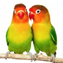 Papużki nierozłączki - obrazy drukowane na płótnie