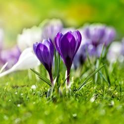 Wiosenne krokusy - Nowoczesny obraz na płótnie