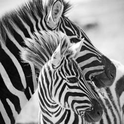 Zebry - czarno biały obraz na płótnie